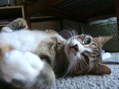 DSCF1698 (Annejelynn) Tags: cats cat chats furry kitten feline chat fuzzy kitty kittens gatos gato kitties felines katze kittycats