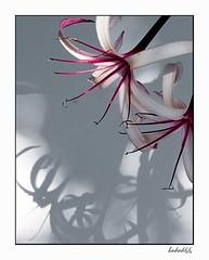 Shadows of Elegance (hodad66) Tags: flower florida 1025fav wow