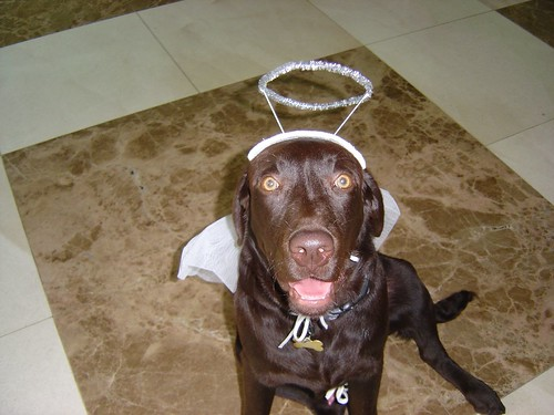 chocolate labrador retriever - halloween