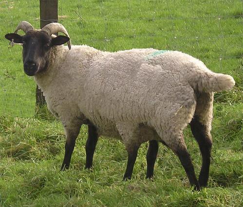 six legged sheep