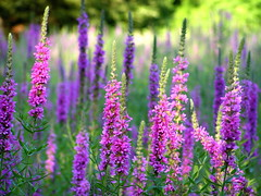 purple loosestrife4 (Muffet) Tags: nature weed wildflower loosestrife dwcffpurple