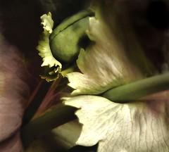 poppy secrets (hurleygurley) Tags: california summer white painterly flower macro topf25 northerncalifornia topv111 1025fav wonder ilovenature interestingness marin goddess explore poppy bo bud tam hg barbarasgarden lagunitas hurleygurley westmarin botanica sangeronimovalley pf muted floraporn topf20 iwonder excellenceinfloralphotography etcet utatacolorblack utatapainterly wewonder elisabethfeldman faveset nuccoc wmset hgdreams