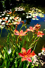ROPES MANSION KOI POND (boston_camera) Tags: pond lilies flowers garden koi goldfishpond