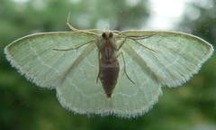 Wavy-Lined Emerald (Synchlora aerata) (Moth) (Casteel) Tags: green bug insect nc small moth july northcarolina geometridae bmna ventral synchlora synchloraaerata wavylinedemerald geometrinae
