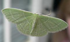 Wavy-Lined Emerald (Synchlora aerata) (Moth) (Casteel) Tags: green bug insect nc small moth july northcarolina geometridae dorsal bmna synchlora synchloraaerata wavylinedemerald geometrinae