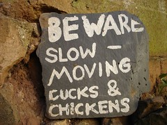 slow ducks and chickens
