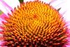 (Blackwings) Tags: echinacea macro closeup orange red flower flora 110fav topv111 urfavssummer wonder wow canon eos 350d ilovenature photowalk