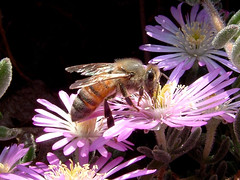 beeeeeeeegooooooood (malibuhealer) Tags: flowers deleteme5 deleteme8 deleteme macro deleteme2 deleteme3 deleteme4 deleteme6 deleteme9 deleteme7 top20wings deleteme10 bees favewings randybruck malibuhealer