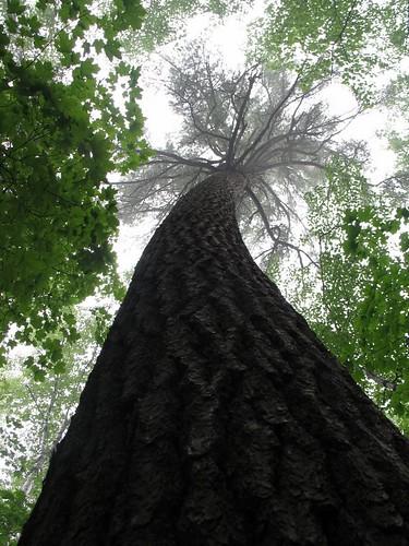 Hartwick Pines