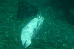 IMG_1279 (o0karen0o) Tags: mystic connecticut acquarium beluga whale