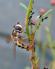 HOVERFLY WITH APHIDS (mark h2) Tags: fly hoverfly aphids bugs macro top20nature
