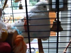 S3700062 (roobarbs) Tags: budgie parakete bird sylvester