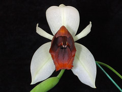 Coelogyne usitana (Eric Hunt.) Tags: orchid flower macro d70 orchidaceae fv10 coelogyne goldengateorchids coelogyneusitana hbook