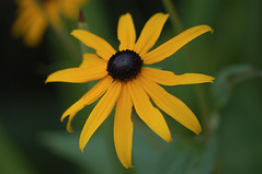 Black Eyed Susan... (fshequin) Tags: rhinecliff flower blackeyedsusan