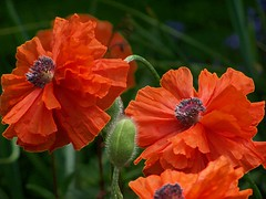 julians poppies