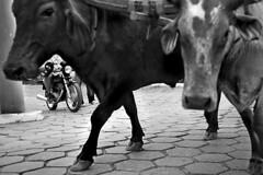 rules ( Tatiana Cardeal) Tags: brazil bw brasil countryside documentary traditions bull tatianacardeal brsil sofranciscoxavier oxcart eos100 documentaire tropeirosvioleiros documentario