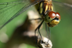 Eyes. (α) Tags: insect dragonfly