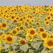 The carpet of sunflowers.