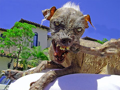 Sam, the world's ugliest dog (rscottjones) Tags: dog dead notmine sam blind rip ugliest warts ugly mean expired snarl nomore toenails balding whitehair notcute badteeth worldsugliestdog chinesecrestedhairless ugliestdogever probablysmelly decidedlynotcuddly