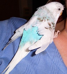 Sylvester (roobarbs) Tags: budgie parakete bird sylvester