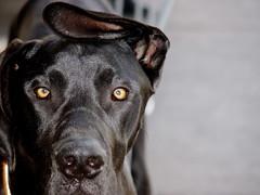You Lose! (H2ORANGE) Tags: dog greatdane ear eyes nose top20dogpix