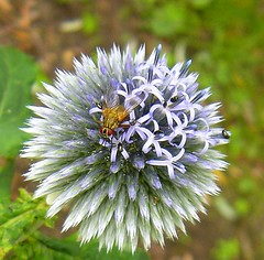 Fly on globe thistle // Fliege auf Kugeldistel (Gakas) Tags: kugeldistel globethistle blau blue fliege fly flies flower flowers ilovenature
