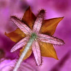 pink universe (josef.stuefer) Tags: pink plant flower closeup garden star poetry purple frombelow explore negative inverted josefstuefer