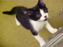 Cute Little Tuxedo Kitten that was at Heartland Humane Society (Pixel Packing Mama) Tags: tuxedocats catsandkittensset catscatscats v800 luckylegs photographlikepainting meowscatsv heartlandhumanesociety pixelpackingmama dorothydelinaporter worldsfavorite cc800 reallyunlimited montanathecat~fanclubpool favoritedpixset spcacatspool cat800 ceruleanthecat~fanclubpool tuxedocatspool cats760viewscatswellontheirwayto1000viewsormorepool views1000andupdomesticcatsonlypool views801900pool allcatsallowedpool uploadedtoflickr2005set cbatdef update4sure painterlycatsset update4sureset pixelpackingmama~prayforkyronhorman oversixmillionaggregateviews over430000photostreamviews