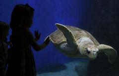 Virginia Aquarium - meeting Crush (-Angela) Tags: 2005 blue summer topf25 silhouette canon aquarium virginia topf50 topf75 turtle availablelight wide va thedaughter 50100fav seaturtle virginiabeach tc15fairytales virginiaaquarium 2005top100faves