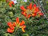 Afrikanischer Tulpenbaum (Eerika Schulz) Tags: wat sri mung mueang afrikanischer tulpenbaum spathodea campanulata african tuliptree