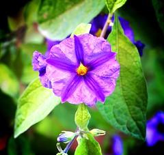 Flor del 6 de agosto 2 - by Junjan