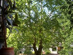 Mein Freund der Baum am 7. August 2005 (guy guisborne) Tags: kln kalk baum hinterhof ahorn