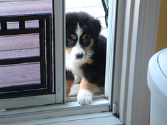 Porte patio (Leeloo_) Tags: jazz bernese bouvier bernois dog puppy chiot chien