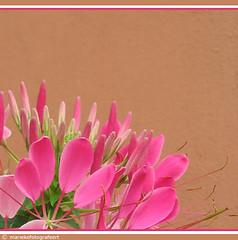 Kleurencombinatie. (mariekefotografeert) Tags: bloem flowers roze pink mariekefotografeert