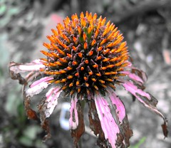 Ravaged (Mr. Greenjeans) Tags: life flowers orange flower macro nature catchycolors garden echinacea decay coneflower fade whofarted mrgreenjeans flowerhearts gaylon curlythingie gaylonkeeling