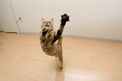 DSC_4627 (junku) Tags: cats cat fun jump jumping nikon kitten d70 kitties  kin   sigma15mmf28exfisheye airbornecat airbornecats