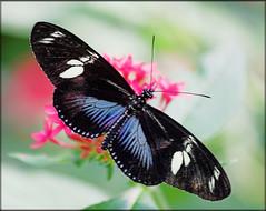 Doris Longwing (Studio E) Tags: dorislongwing butterfly wings blue lepidoptera antennae macro