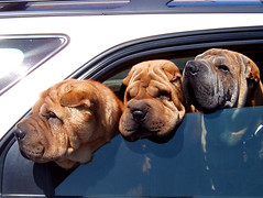 anti botox brigade (emdot) Tags: sharpei wrinkles dogs car window 3kings dog topv777 topf50