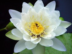 White waterlily (with a surprise guest) (Creativity+ Timothy K Hamilton) Tags: flowers white black flower water yellow contrast garden botanical creativity petals 500v20f waterlily lily stlouis top20flower saintlouis stl botanicalgarden 19 creativityplus tozero aug142006