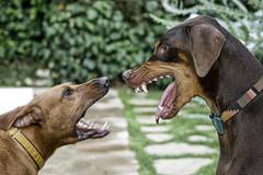 teeth (noahstone) Tags: dog dogs topf25 topv111 cat topf50 topv555 topv333 topf75 searchthebest teeth topv1111 topv999 vizsla buddy levi doberman canon50f18 fangs ridgeback topv9999 topv11111 topf150 topf100 rhodesian excellenceindomesticanimalpetphotography topv33333 topv22222