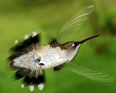 Transparent Wings (Rachel Pennington) Tags: hummingbird transparent wings flight fan tail lookoutmountain georgia hummer mostinteresting