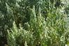 mmmm (thirstycactus) Tags: afghanistan pot marijuana