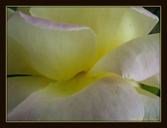Inner Glow (**Mary**) Tags: summer flower macro texture rose yellow petals soft bicolour petalart ccmpclosencounter