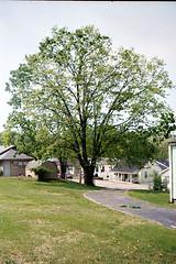 Cecilia the tree