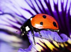 IMGP6230 - Colour shock (fleetingphotons) Tags: blue red 15fav flower macro nature purple bathed ladybird ladybug mygarden flauntingit