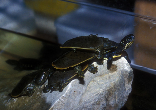 King of mountain - baby turtle style by alumroot