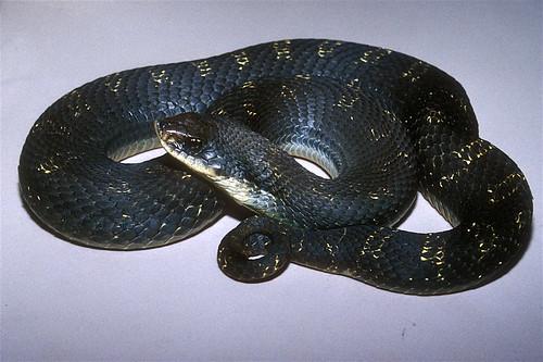 Heterodon platirhinos - eastern hog-nosed snake