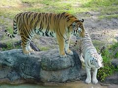 20031210 (64) (otzberg) Tags: florida tiger whitetiger buschgardens 20031210 usa2003