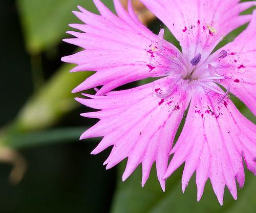 Dianthus (former