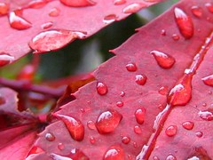Rain on a Red Leaf (Lady-bug) Tags: red macro leaf raindrops risforrainandred
